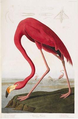 """John James Audubon - (1785 -1851) Geboren in Haiti. Hij ontwikkelde een obsessie voor vogels. Hij had het streven elke vogel uit Noord-Amerika na te schilderen. In 1826 geef hij zijn boek uit 'The birds of America"""" 435 afb.Ter gelegeheid van zijn 226e geboortedag is het traditionele logo van google vervangen door afb van Audubons vogels. Werk: Birds of America. De kleur en compositie is zeer herkenbaar en inspirerend. Zijn oog voor detail in de actie van de vogels spreekt mij zeer aan."""