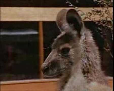 ▶ skippy the bush kangaroo - YouTube  Remember watching this!  Theme song has stayed in my head for decades:)