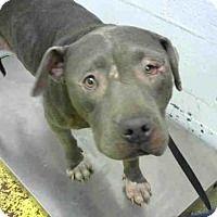 American Pit Bull Terrier Dog for adoption in Atlanta, Georgia - TWAIN