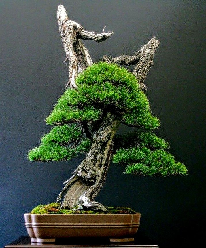 449 best images about great bonsai trees on pinterest for Cool bonsai tree