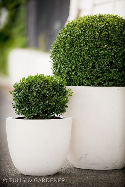 Evergreen shrubs for back deck. Love the shape and color of the containers