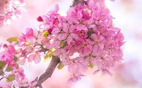 Обои розовый, ветка, весна, цветение