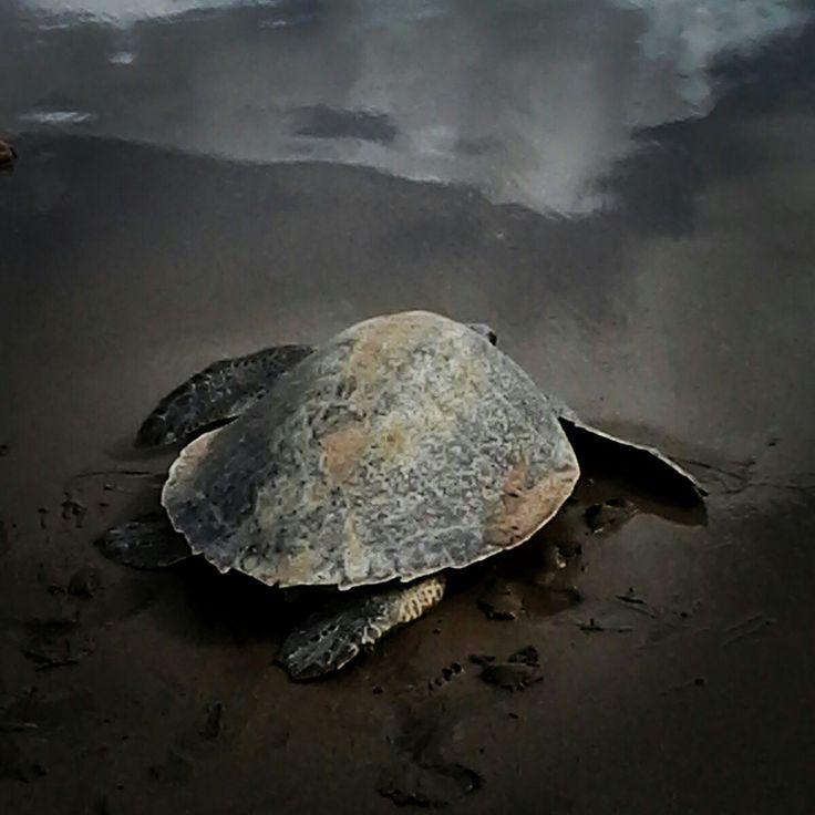 Turtle drop her eggs at Seminyak beach Bali Indonesia.