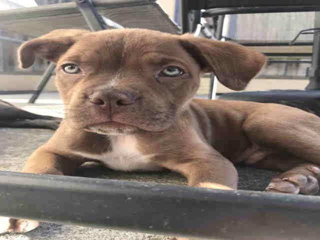 English Boston Bulldog dog for Adoption in Fremont, CA. ADN-592630 on PuppyFinder.com Gender: Male. Age: Baby