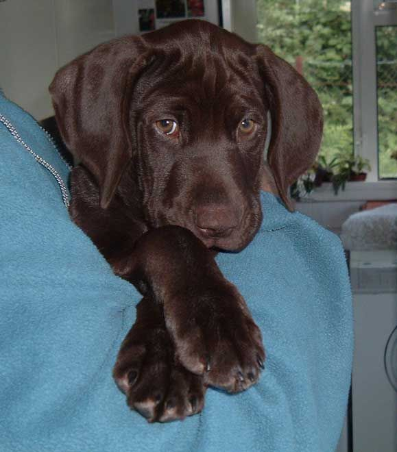 German Shorthaired Pointer puppy.  Needs translating but site tells history and characteristics of GSPs.