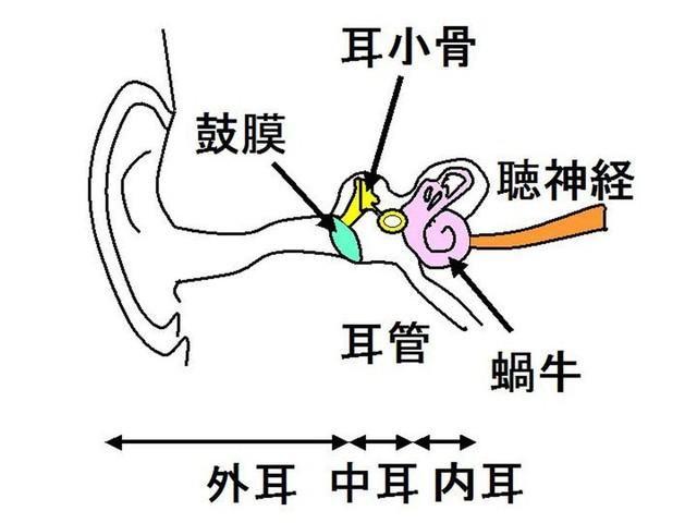 耳の構造です。鼓膜までを外耳と言います。   迷走神経, 汗腺, 耳かき