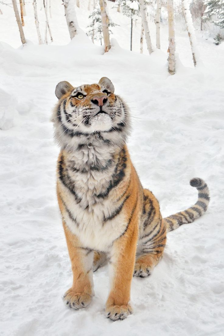 Siberian Tiger Hears Something in the Trees.