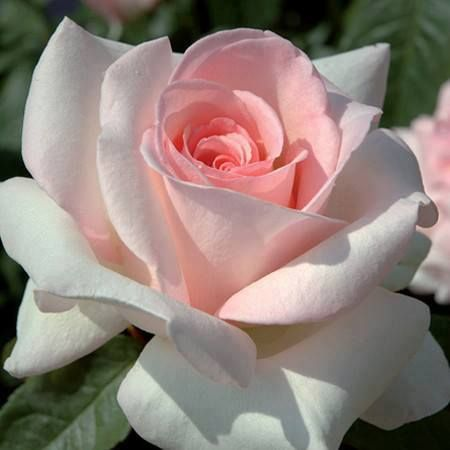 Rose White with Pink Heart