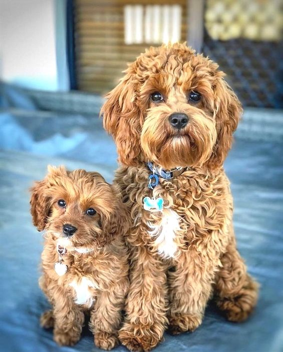 Pin By Vera On Zviratka Cavapoo Puppies Cute Baby Animals