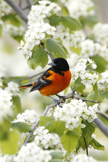 Baltimore Oriole...my favorite birds as a young girl because of a book my father would read with me over and over again.