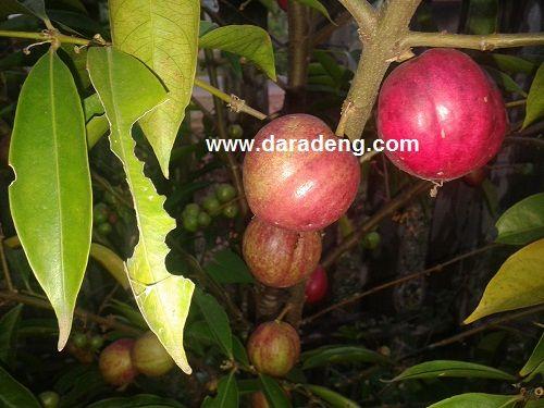 Manfaat Buah Mahkota Dewa Bagi Kesehatan Tubuh | Daradaeng.com