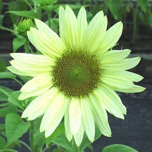 benih/bibit/seeds jade - Unique Green Sunflower Helianthus annuus /bunga matahari hijau' unik, beautiful, rare,easy to grow