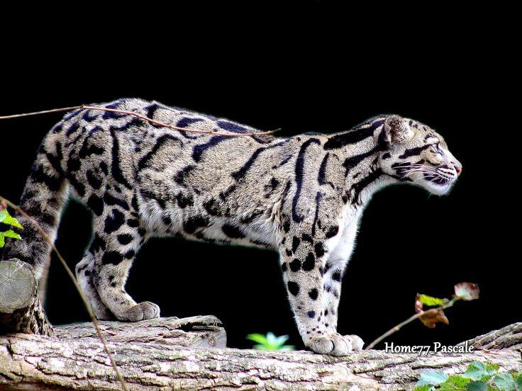 Panthère nébuleuse ou longibande [clouded leopard]
