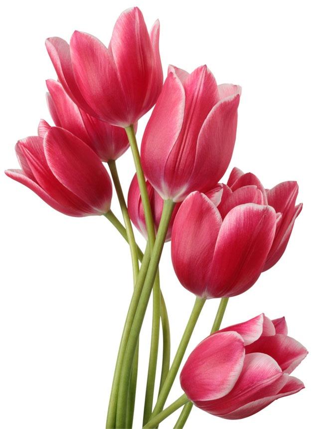 17 Mejores Im 225 Genes Sobre Tulipanes En Pinterest
