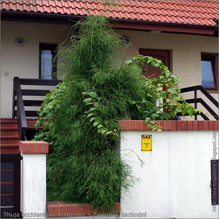 https://flic.kr/p/9YzrfJ | IMGP5102 Thuja occidentalis 'Filiformis' - Żywotnik zachodni | see more, zobacz więcej : plantsgallery.blogspot.com/2008/10/thuja-occidentalis-fil...