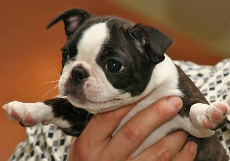 Laverne the Boston Terrier