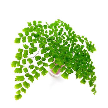free online adiantum fern house plant care answers and information adiantum fern is also called maidenhair fern houseplant care for your indoor potted
