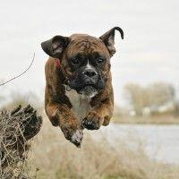 #dogalize Giochi per cani boxer: idee per far divertire il nostro peloso #dogs #cats #pets