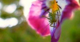 grasshopper, koník sirôtkový