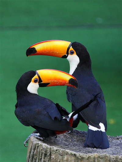 ♥ Two Toucans