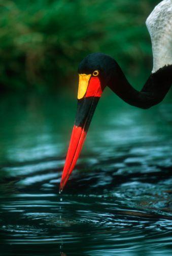 Saddle Billed stork (Ephippiorhynchus senegalensis) foraging in river