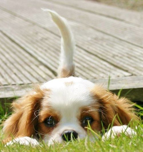 Cavalier King Charles Spaniel <3333 if we ever got a dog this would be it. Or a French bulldog.