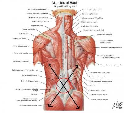 the 25+ best lats muscle ideas on pinterest   lat workout, back, Human Body