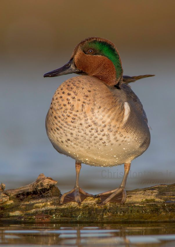 The Green-winged Teal (Anas carolinensis or Anas crecca carolinensis) is a common and widespread duck that breeds in the northern areas of North America except on the Aleutian Islands./ Chris Montano Jr. Photography