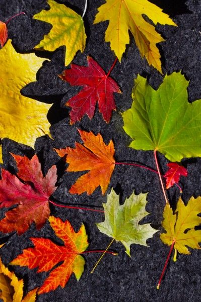 Amazing Maple Leaves So use black background and hand dyed leaves for a quilt