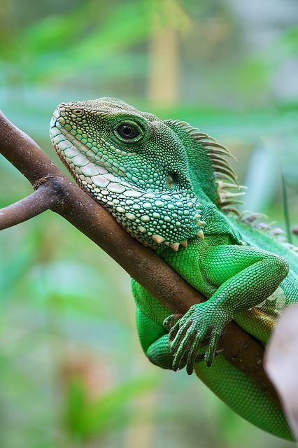 Chinese water dragon by generalstussner on Flickr. Did you know that in it's natural environment, Physignathus cocincinus is quite shy and always prepared to take flight. Quite often it rests on branches overhanging the water. When startled it drops from the branches into the bodies of water and can remain submerged for longer time periods, but it may also run into the dense riparian undergrowth on its hind legs. They are good swimmers and divers and can even catch fish. ...