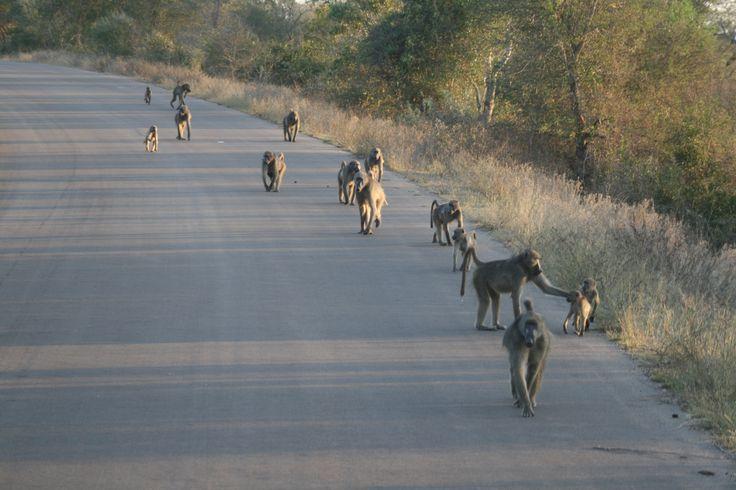 A troop of baboons moving through Kruger National Park. #EpicEnabled