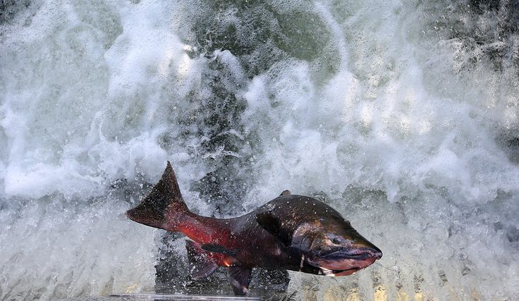 751 best images about bay area fishing on pinterest for Salmon fishing bay area
