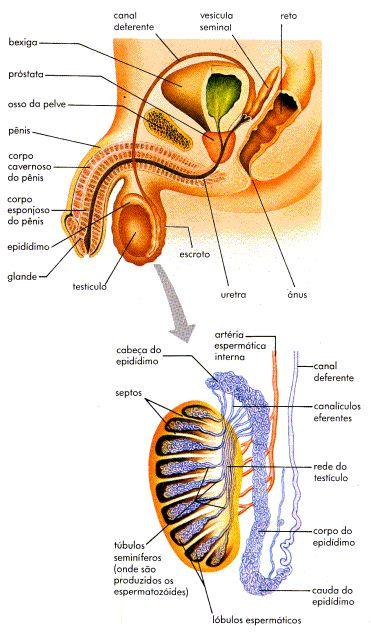 .:: Corpo Masculino - Só Biologia ::.