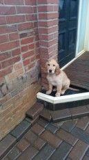 Puppyplaats.nl - Nog 1 Bruine setter/flat pup te koop (Reutje) - Kruising: Ierse Setter x Flatcoated Retriever pups