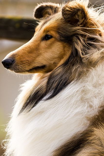 Rough Collie Raza pura -- looks a lot like Josie..miss her:')