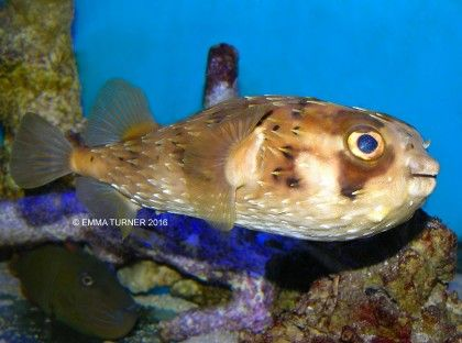 Best 29 israel ideas on pinterest holy land jerusalem for Porcupine puffer fish