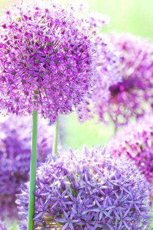 Alliums- Helps repel slugs, aphids, carrot flies, cabbage worms and other pests. Companion plant for carrots, fruit trees, cabbage, broccoli, tomatoes, potatoes and peppers. Love these.