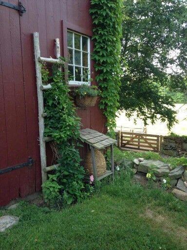 Use old ladder against garden house for vines