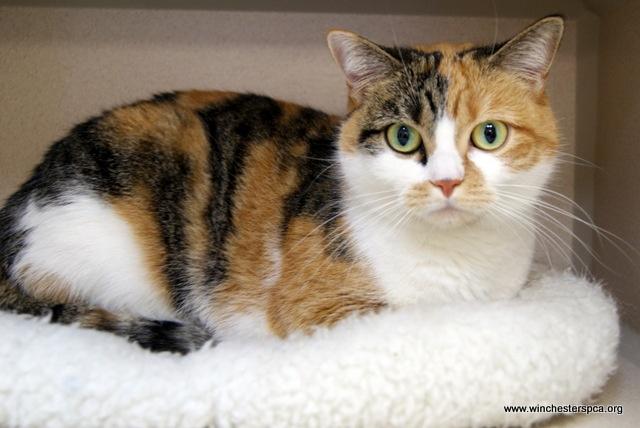 Calico tabby cat | She...