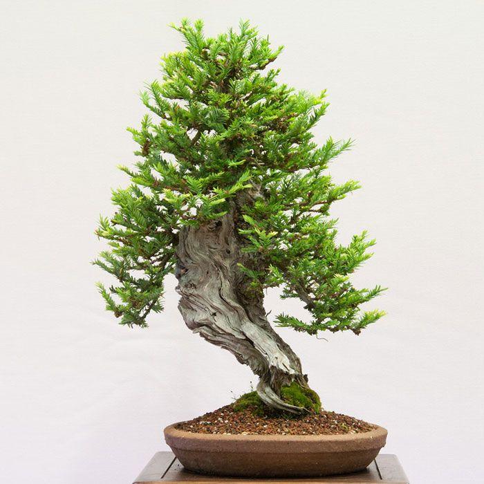 bonsai redwood tree (5)