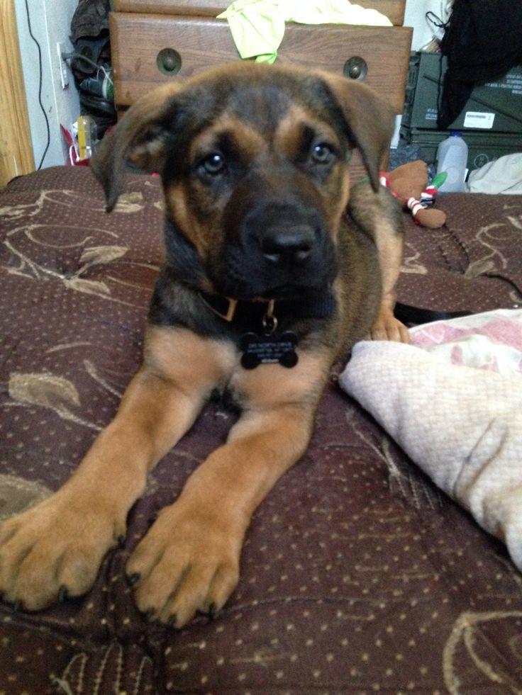 German Shepard American Bulldog And Black Lab Mix Meet Winchester