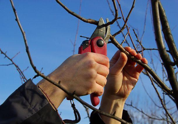 Obstbaumschnitt richtig durchgeführt
