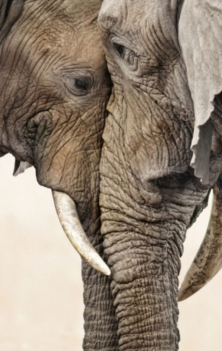Elephant love / the eyes are the windows of the soul / elephant pictures animal / nature photography