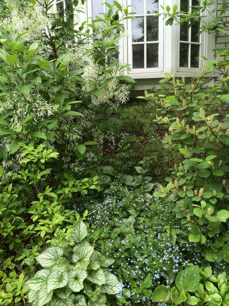 Fringe tree (chionanthus virginicus), Brunnera macrophylla (Jack Frost Siberian Bugloss), Fothergilla post-bloom- May 16, 2015