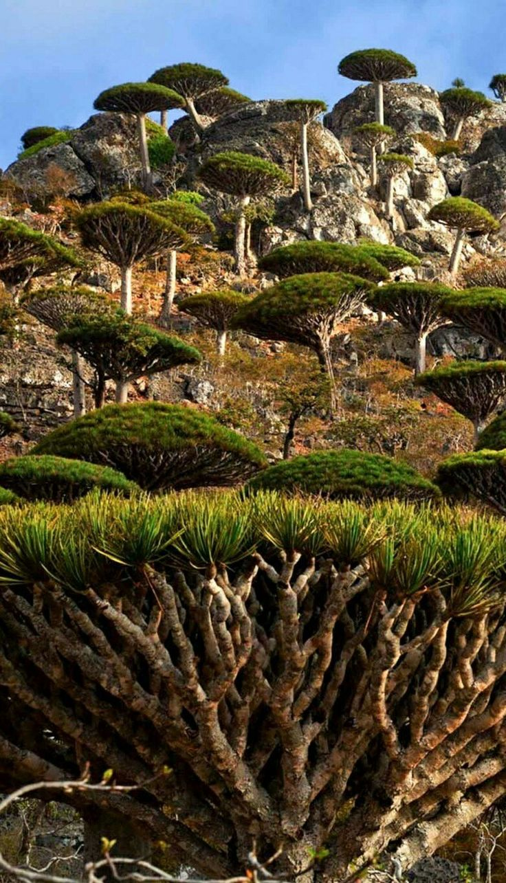 The Last Paradise Socotra(Arabic:سُقُطْرَىSuquṭra), also spelledSoqotra, is an island and a smallarchipelagoof four islands in theArabian Sea. The territory is part ofYemen, and had long been a subdivision of theAden Governorate. In 2004, it became attached to theHadhramaut Governorate, which is much closer to the island than Aden (although the nearest governorate was theAl Mahrah Governorate). In 2013, the archipelago became its own governorate, theSoqatra Governorate