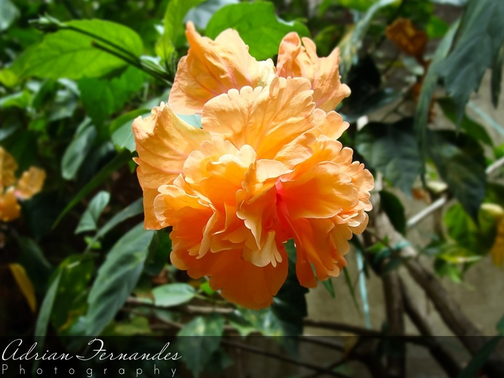 Hibiscus Blooming