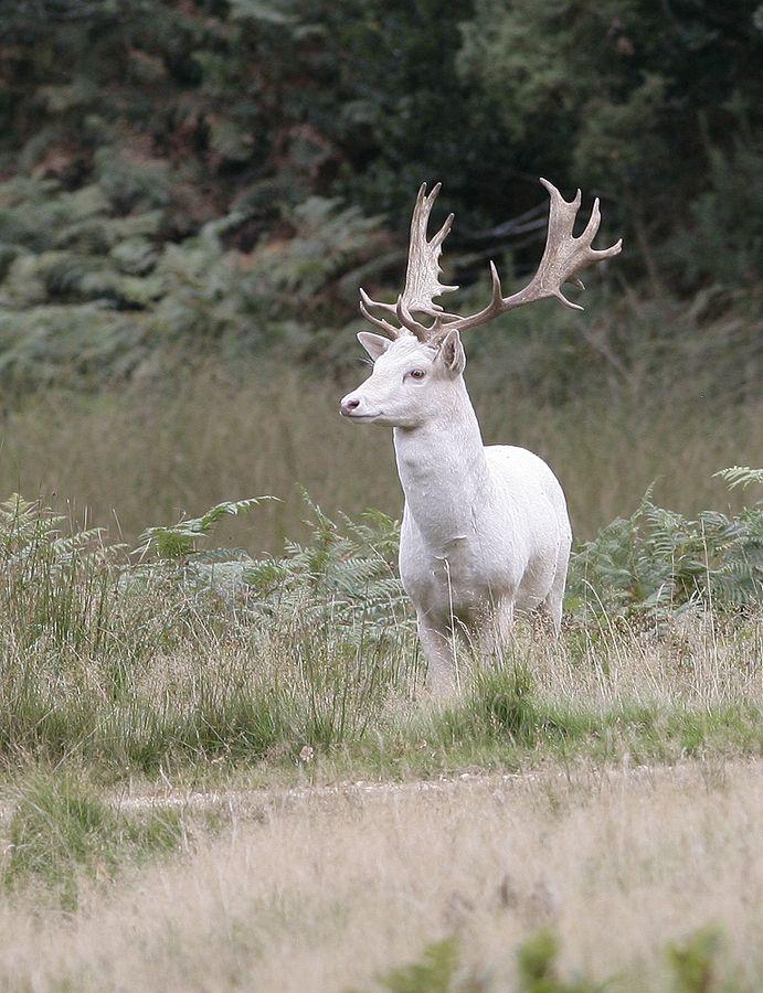 White Fallow Deer by Kevin  Keatley, via 500px