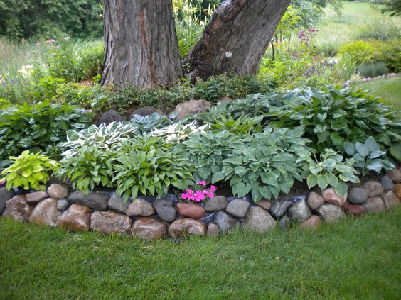 Root Landscaping : Hosta s around a silver maple they can take the root competition