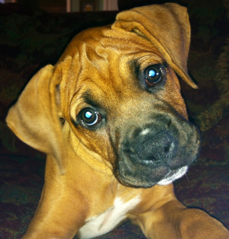 Cool Boxer Chubby Adorable Dog - d62ea293d87be12121ec5f39639a0d6f--boxer-puppies-boxers  2018_4510076  .jpg