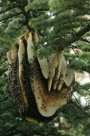 a bee swarm has settled on a pine tree near nimes, france, and has started building combs. it was lucky to survive a mild winter. located in a private garden, this swarm has grown into a full beehive